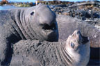 Large, dominant male Elephant seals establish harem areas where they willmate with several females during a season. (photo: Kip Evans)
